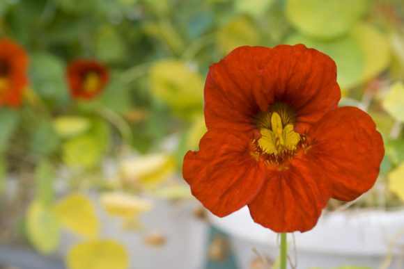 Chefs Garden Flower - Nasturtium Flower- Red